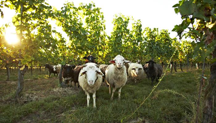 Loimer Wein biodynamisch