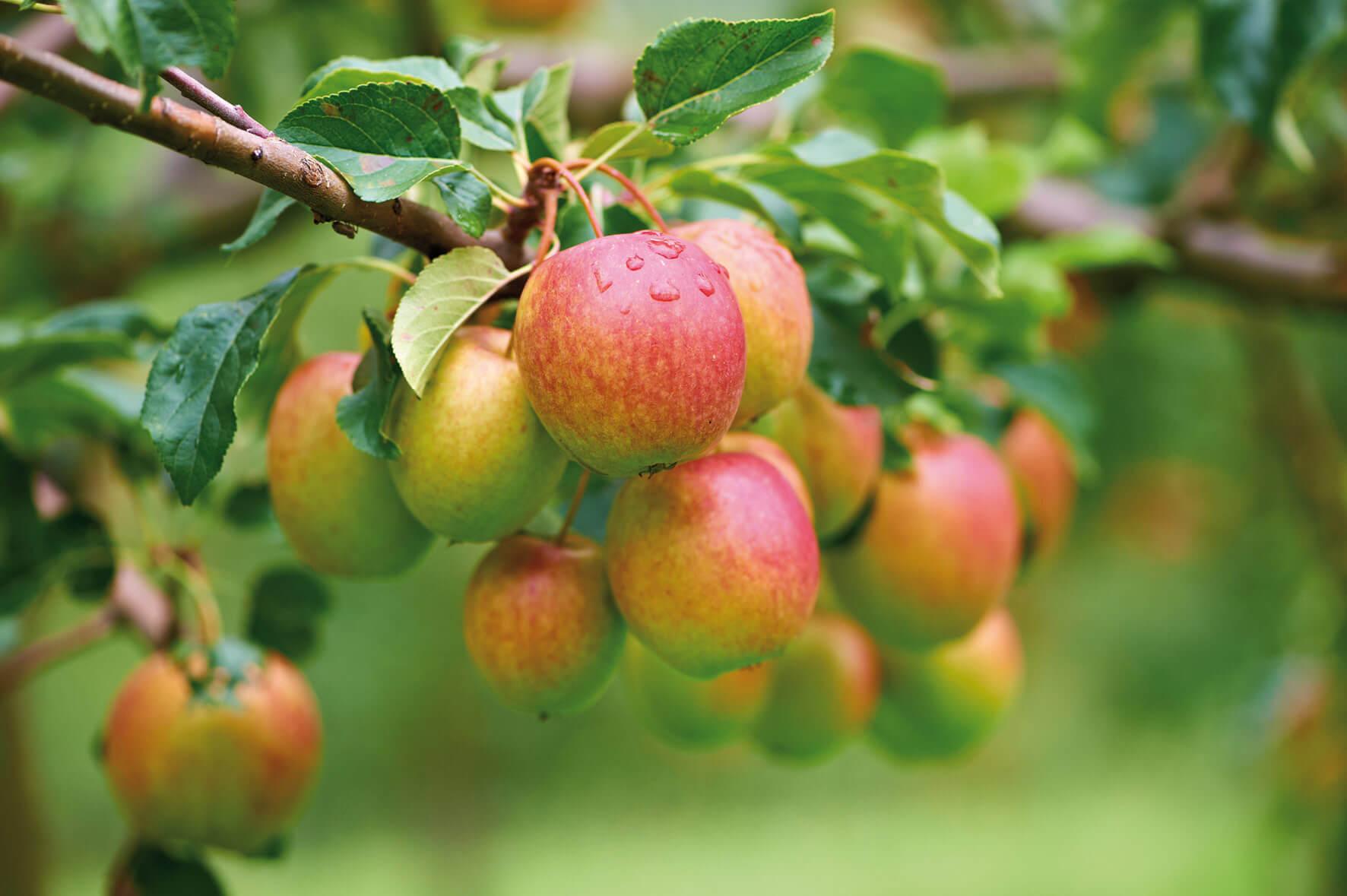 Prisecco Apfel