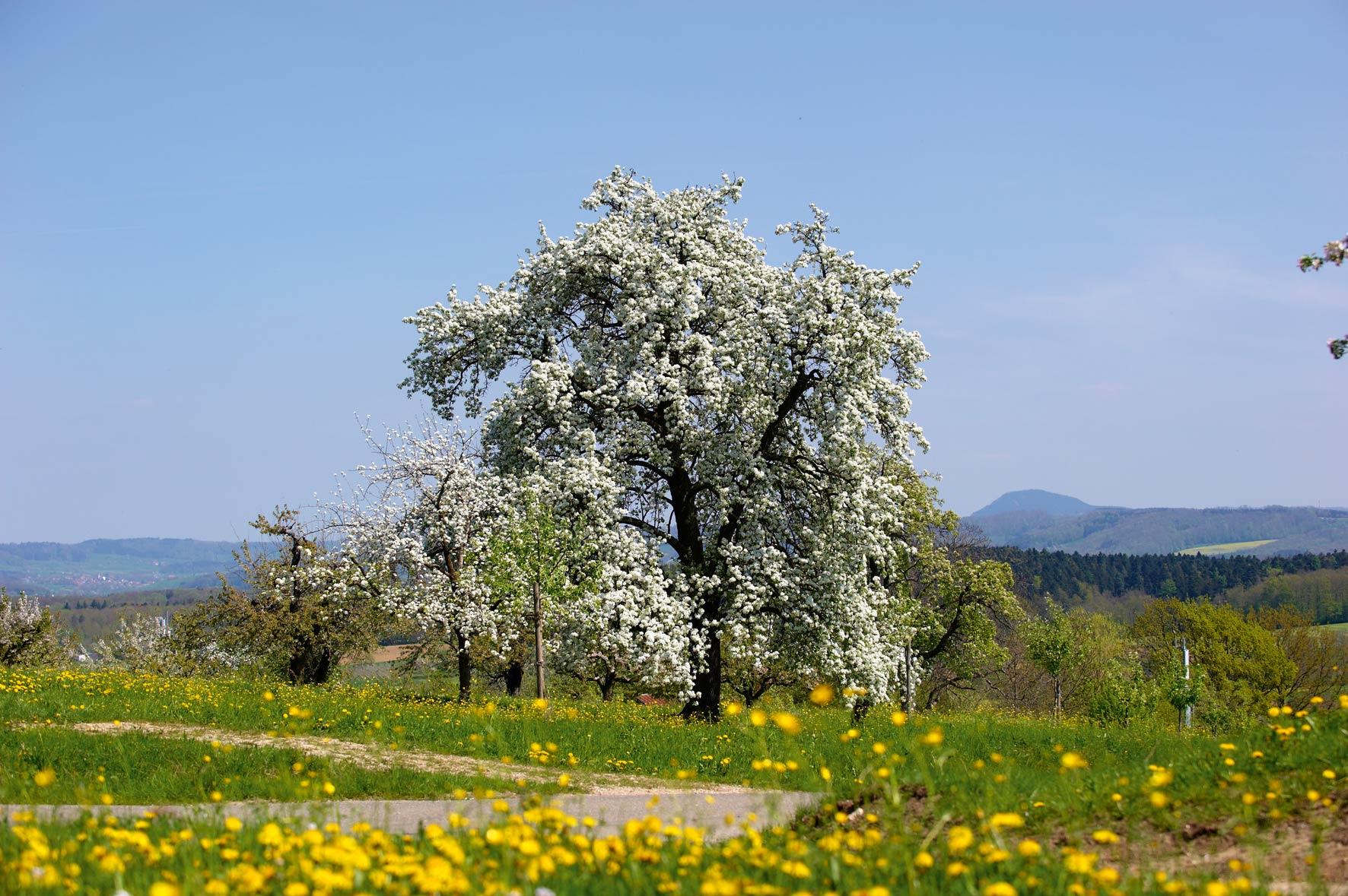 Prisecco Apfelbaum